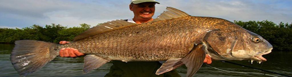 Black drum sw florida fishing for Black drum fishing